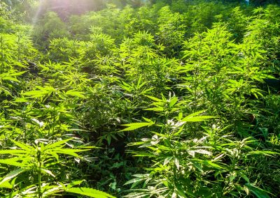 Weed field near Negril, Jamaica