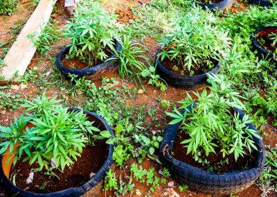 Ganja plants at Blue Hole, Jamaica
