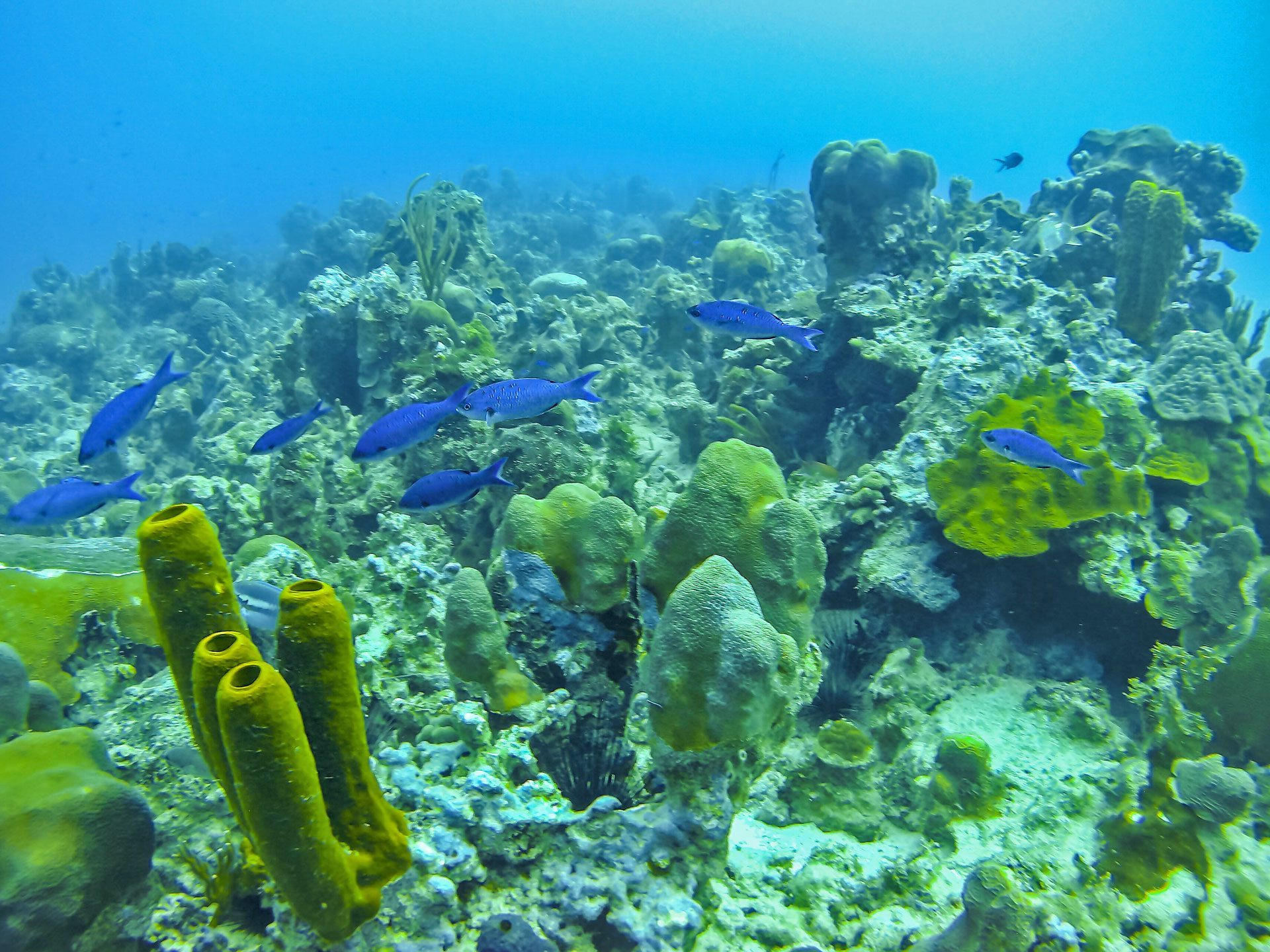Coral Reef with blue fish, sea urchins, sponges and corals in West End, Jamaica