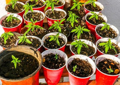 Young cannabis plants in red cups at Blue Hole, Jamaica
