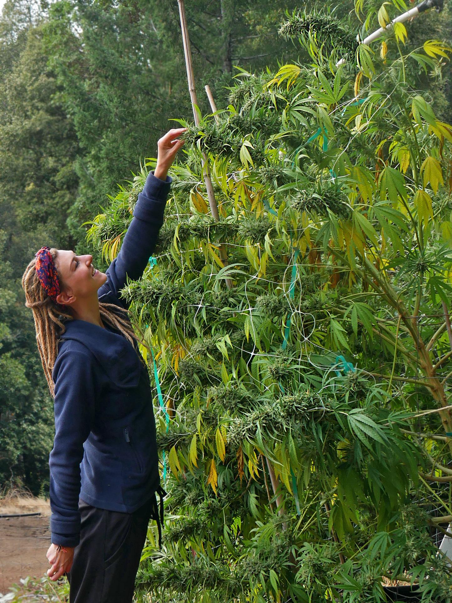Rasta girl next to tall cannabis plant in Northern California