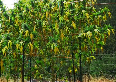 Northern California - Cannabis Plant
