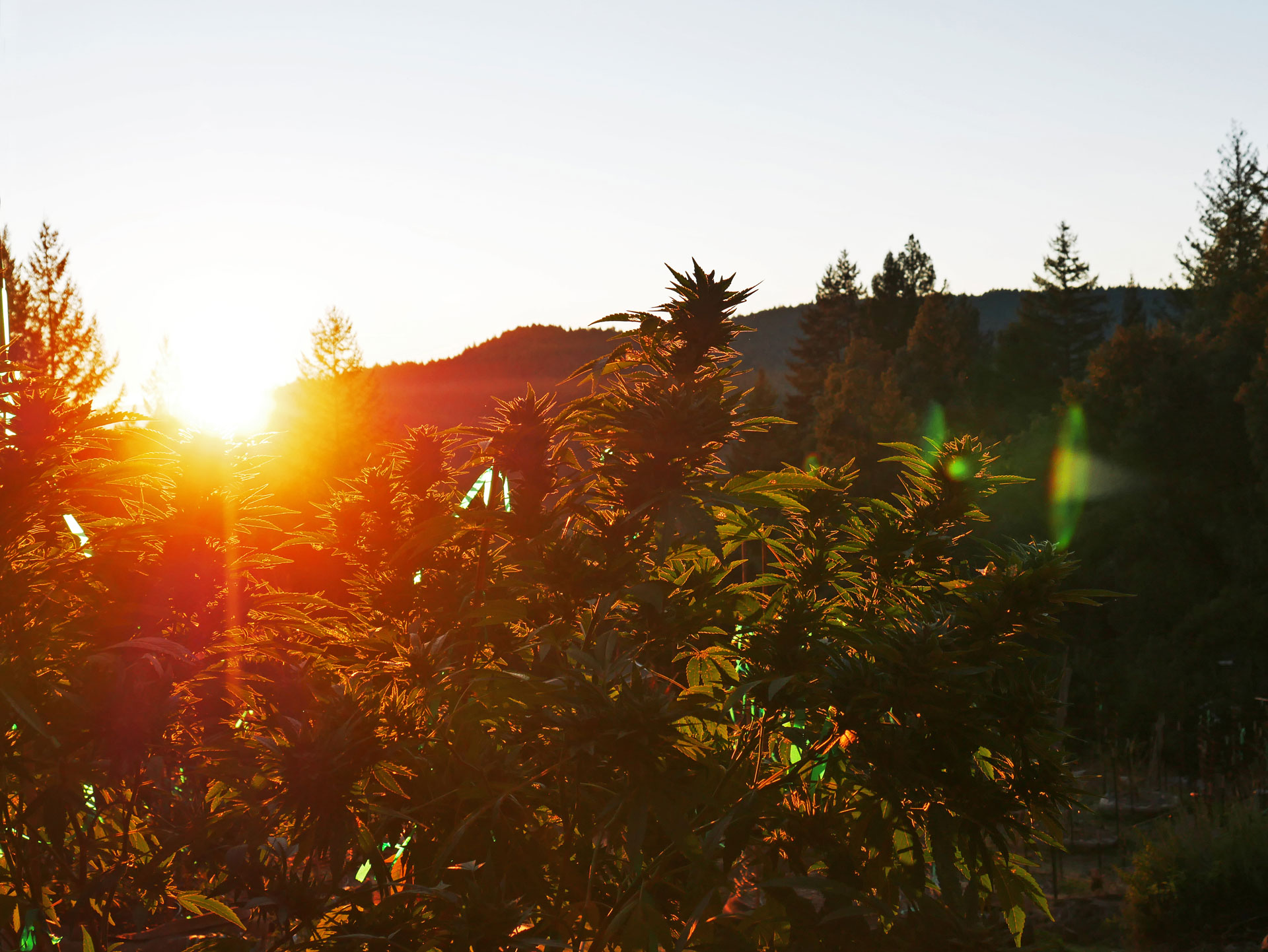 Sunset illuminates weed plants in Northern California