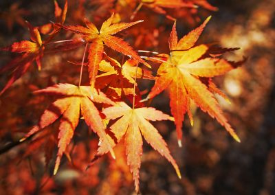 Red and yellow colored leaves in Richmond, VA
