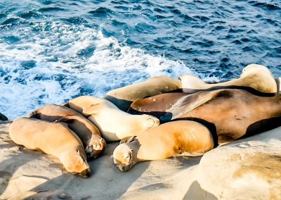 Seals and sea lions sunbathing on rocks of La Jolla Cove in San Diego, CA