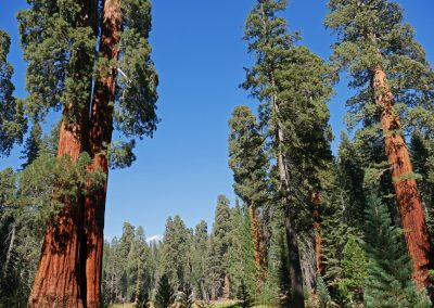 Big Trees Trail in Sequoia National Park