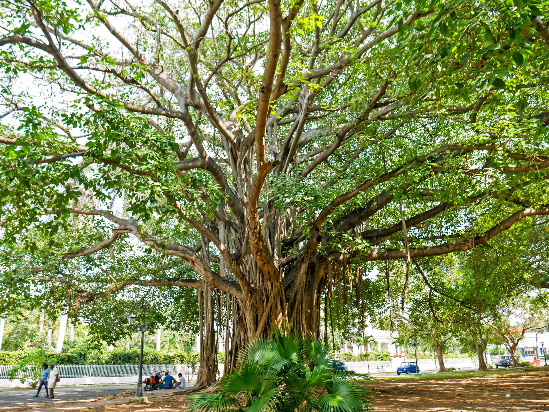 Banyan tree in Parque Miramar in Havana, Cuba