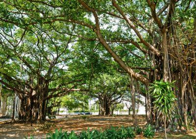Banyan trees in Parque Miramar in Havana, Cuba