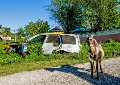 Goat in front of old car in West End, Jamaica