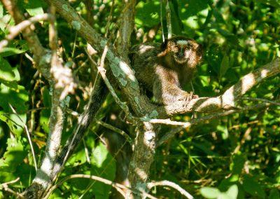 Itacoatiara - Monkey in the Serra da Tiririca State Park