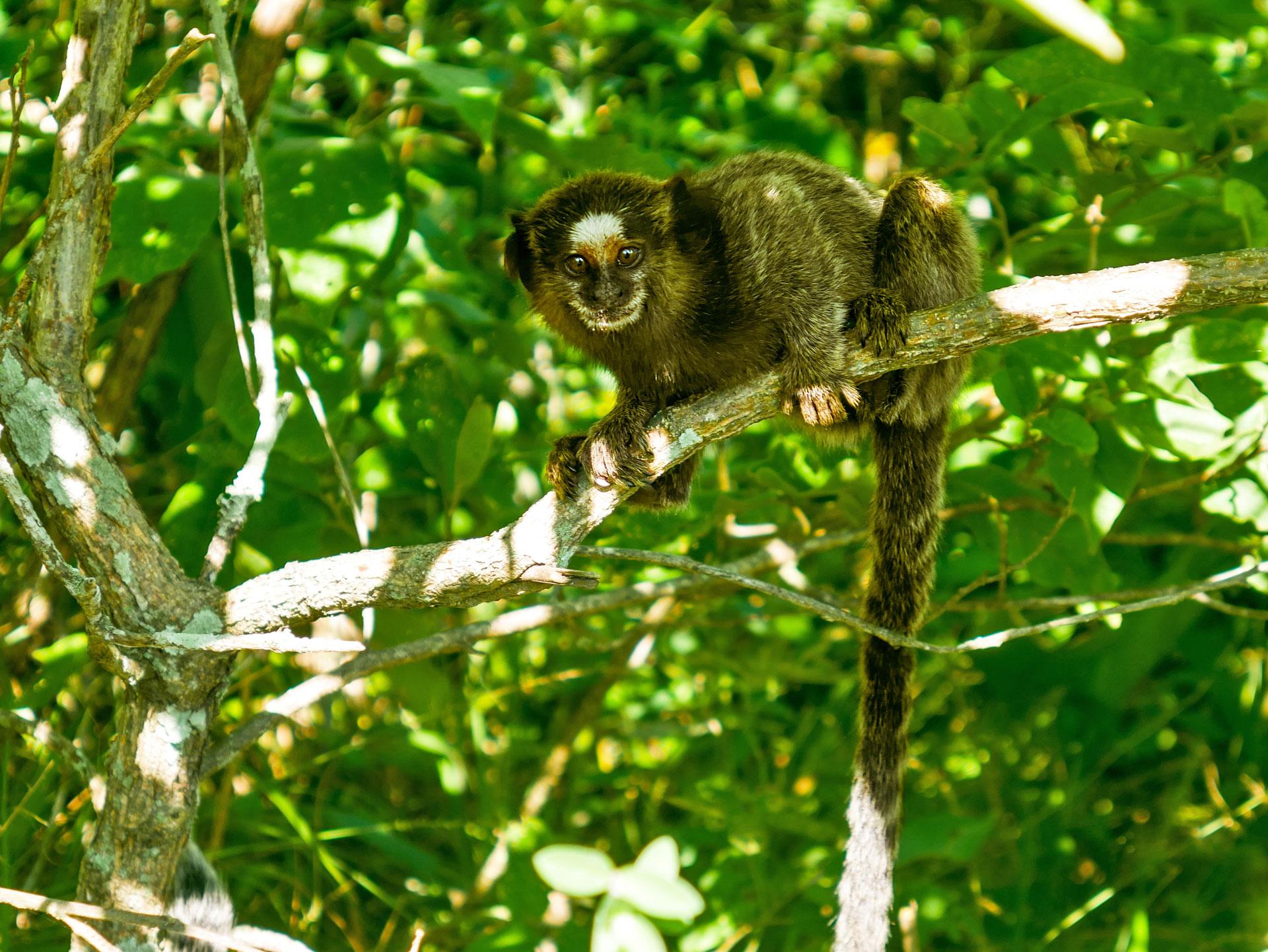 Monkey black-tufted marmoset on mountain in Serra da Tiririca State Park, Itacoatiara, Brazil